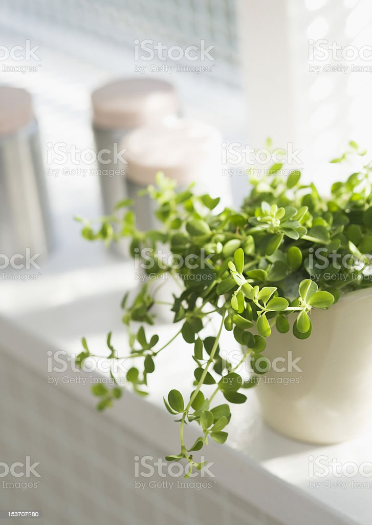 pot of herbs in a window stock photo