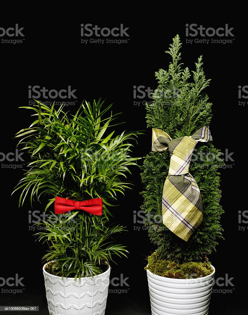Pot plant with bow and tie royalty-free stock photo