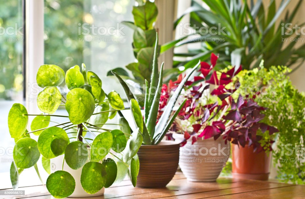 Pot plants display on the window