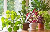 Pot plants display on the window