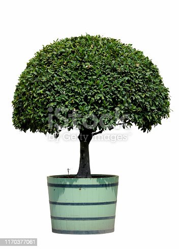 Bay tree (Laurus) planted into round wooden pot