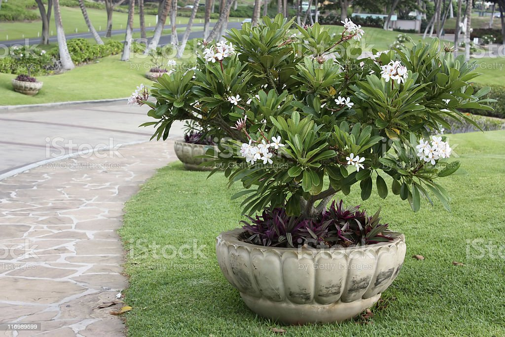 Pot With Flowers Of Plumeria royalty-free stock photo