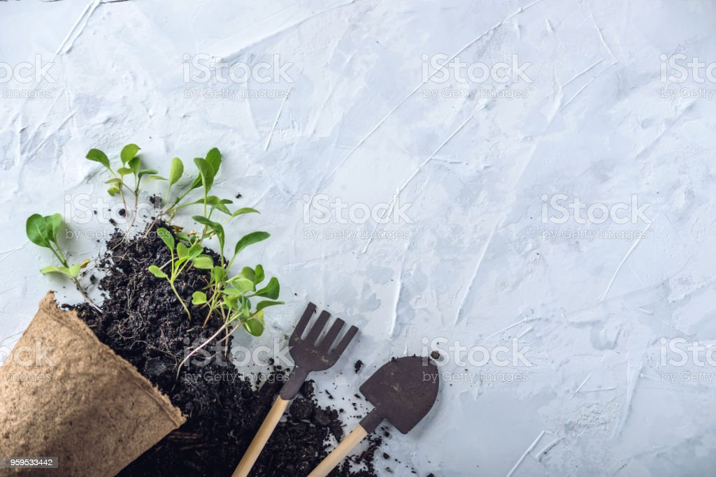 Pot with ground and sprouts of green plants flowers on concrete background. Concept of growing and gardening at home. stock photo