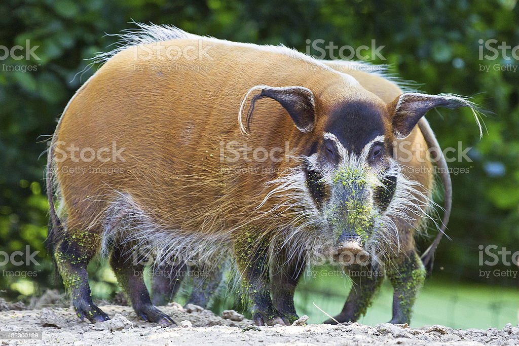 Potamochoerus porcus stock photo