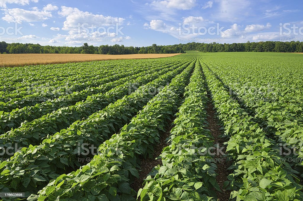 Potato and Wheat Field stock photo