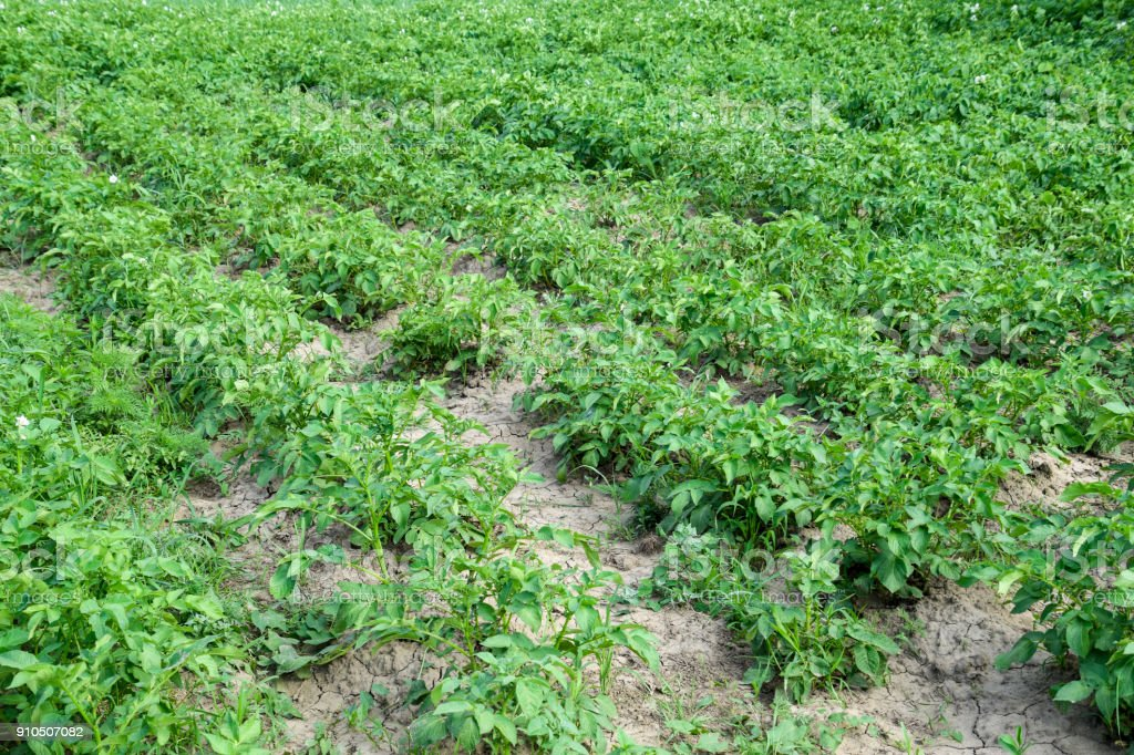 Potato beds in the garden. Green tops of potatoes. stock photo