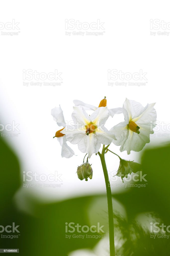 Potato blossom royalty-free stock photo