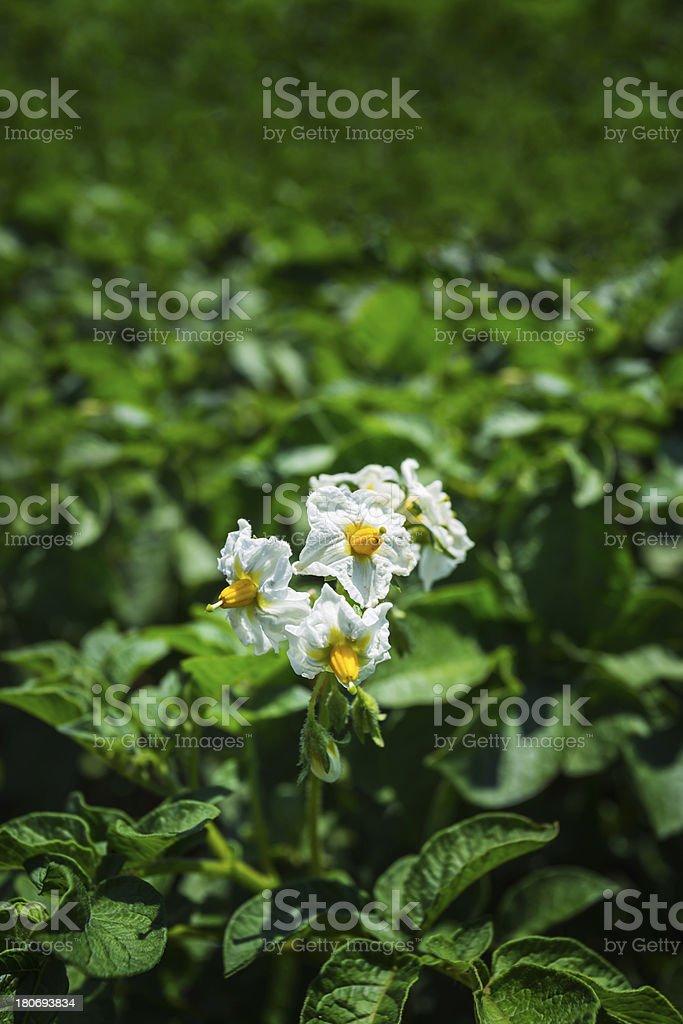 Potato bush blooming with white flower royalty-free stock photo