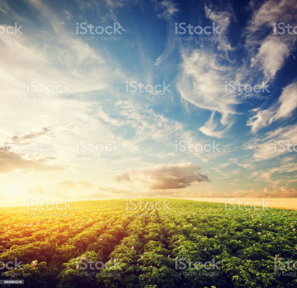 Potato crop field at sunset. Agriculture, professional cultivated...