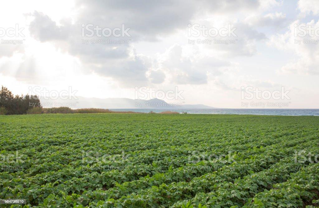 Potato crop grows near sea royalty-free stock photo