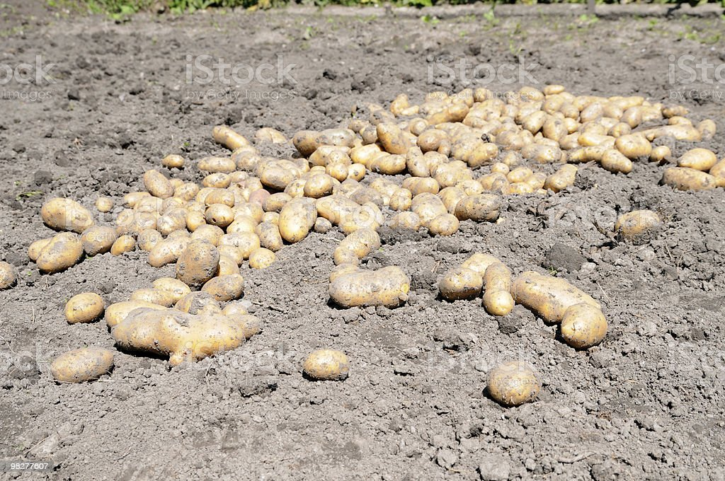 potato crop royalty-free stock photo