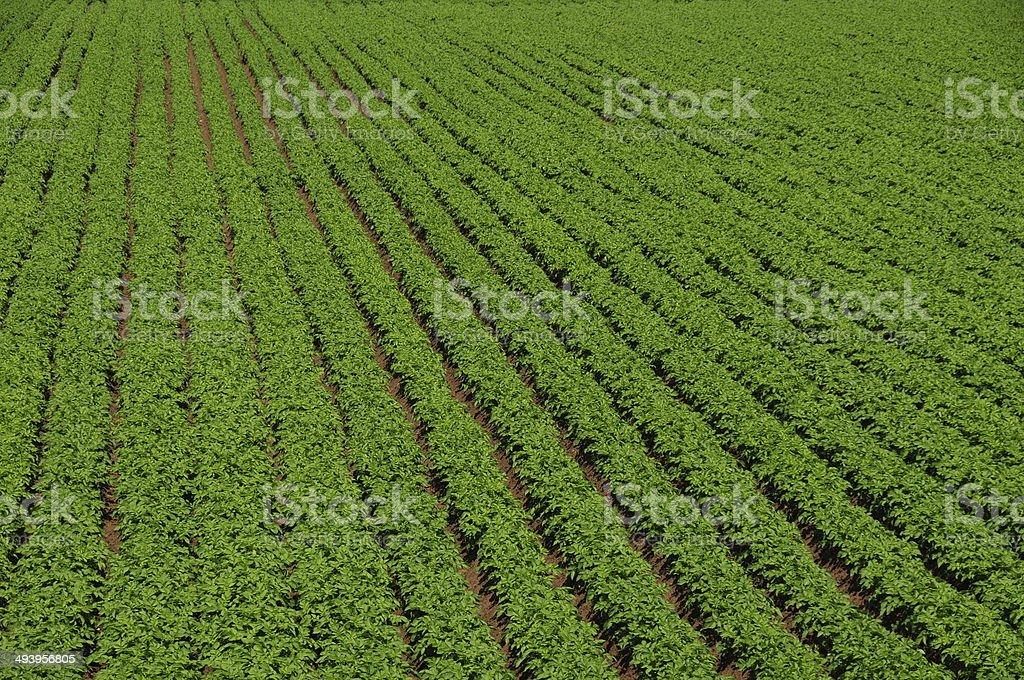Potato crop, U.K. stock photo