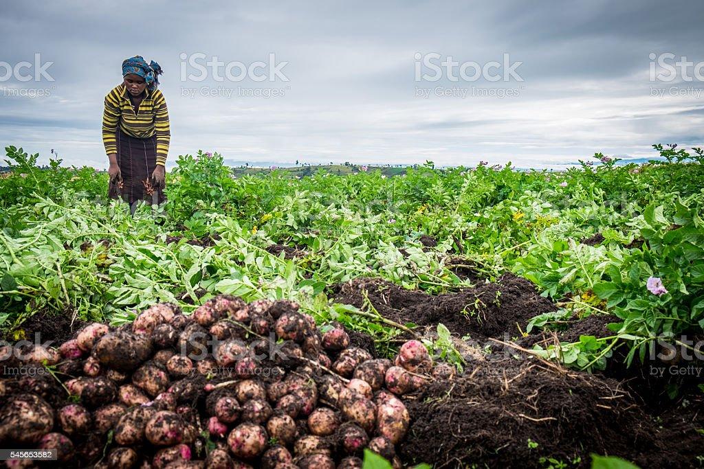 Potato Farmer Harvesting stock photo