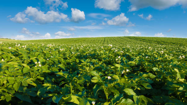 Potato field and blue sky at beautiful day. stock photo