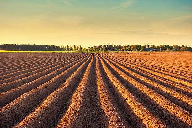 Potato field at dusk  cultivated land stock pictures, royalty-free photos & images