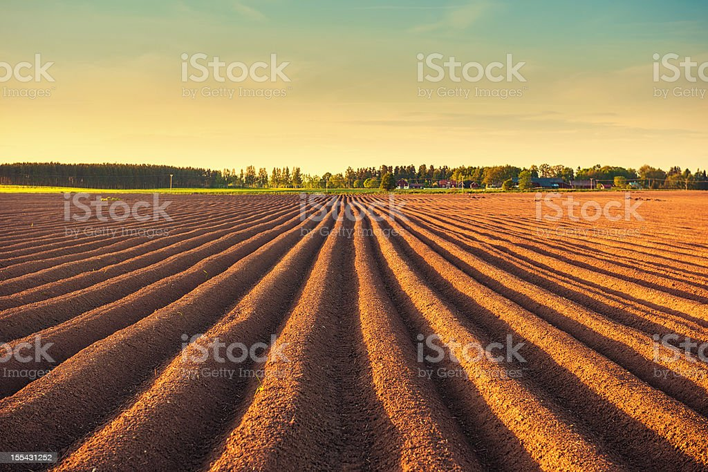 Potato field at dusk stock photo