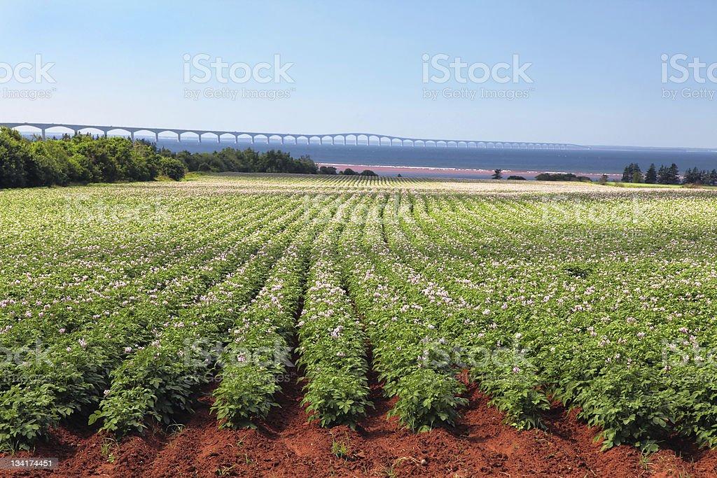 Potato Field & Confederation Bridge stock photo