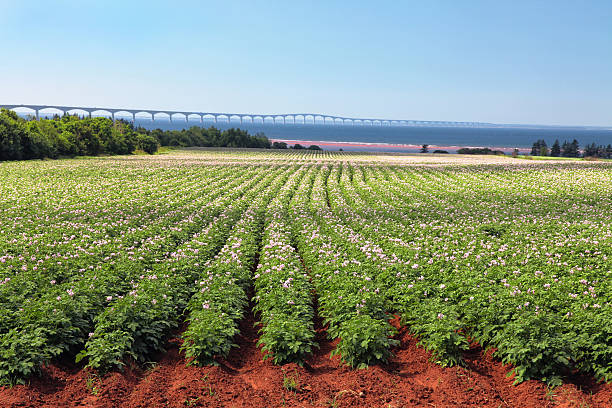potato field & confederation bridge - prince edward island stock photos and pictures