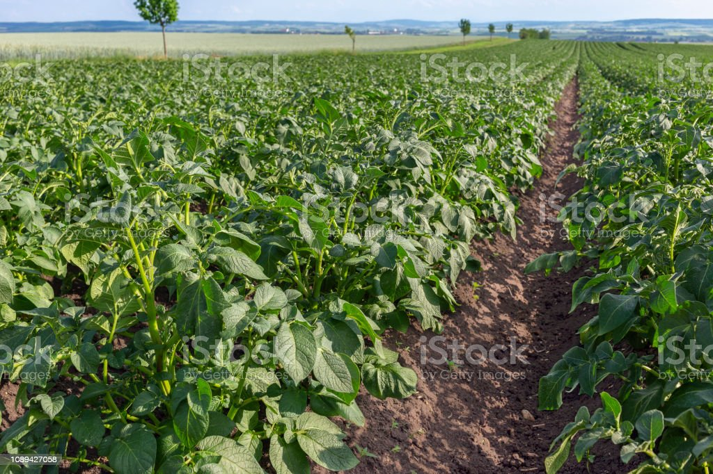 Kartoffelfeld – Foto