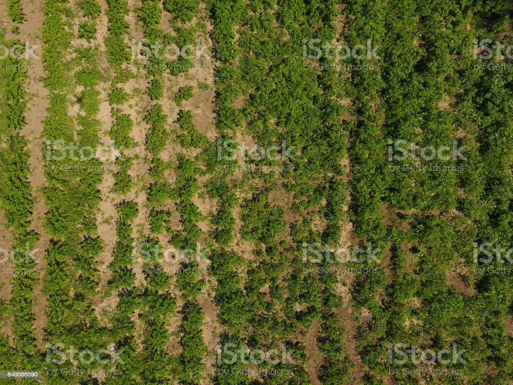 potato field. View from above. Green tops of rows of potatoes. stock photo