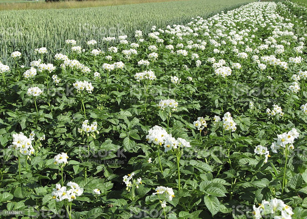 Potato field with blossoms royalty-free stock photo