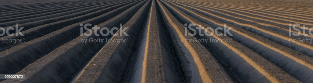 Potato field with straight line pattern royalty-free stock photo