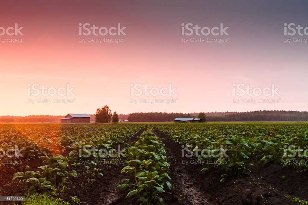 Potato Fields In The Sunset stock photo