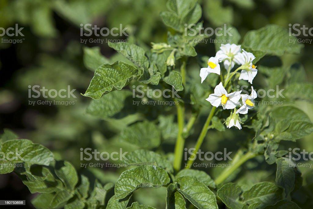 Potato Flowers royalty-free stock photo