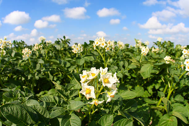 Potato Flowers stock photo