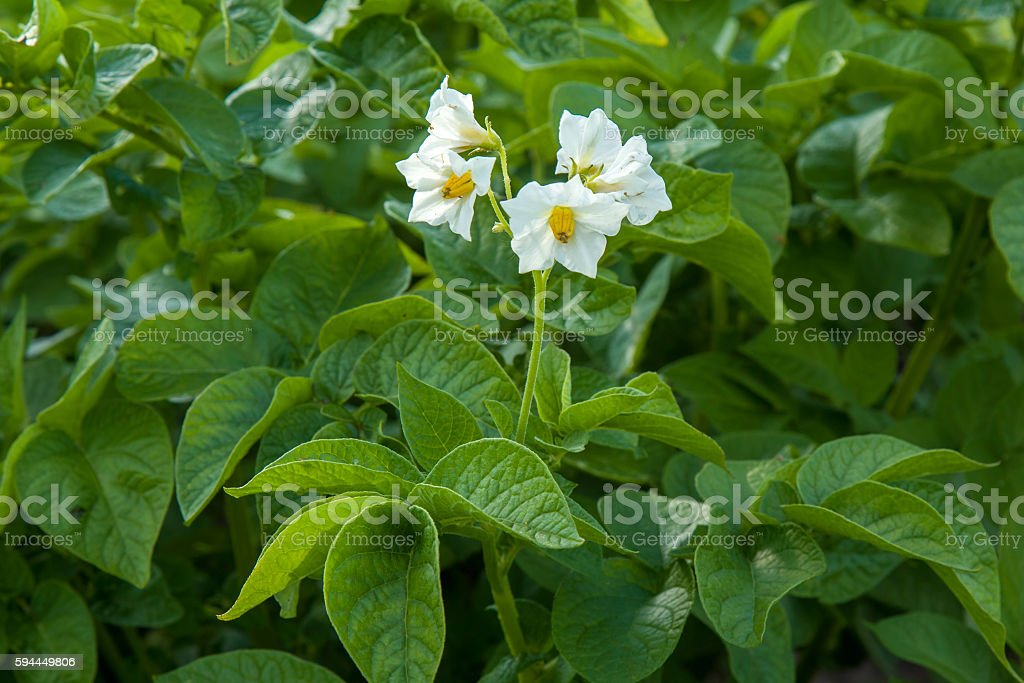 Potato green leaf bushes with flowers growing in the garden. stock photo