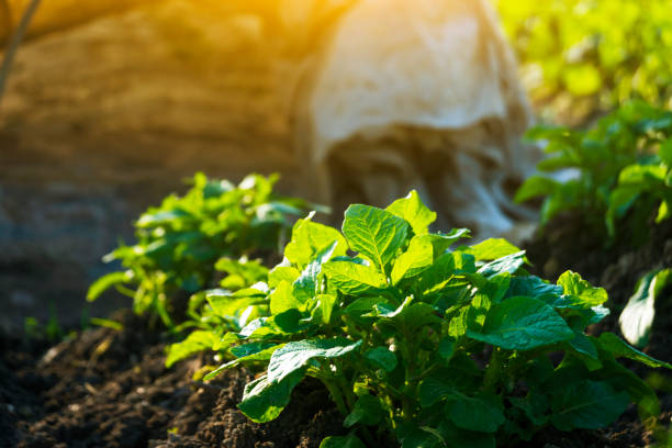 Potato growing in the agriculture field stock photo