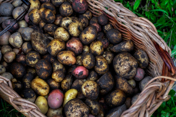 Potato harvest. Basket of  potatoes. stock photo
