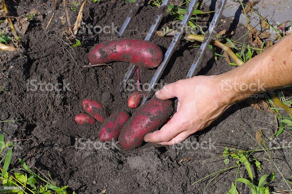 potato harvest in garden stock photo