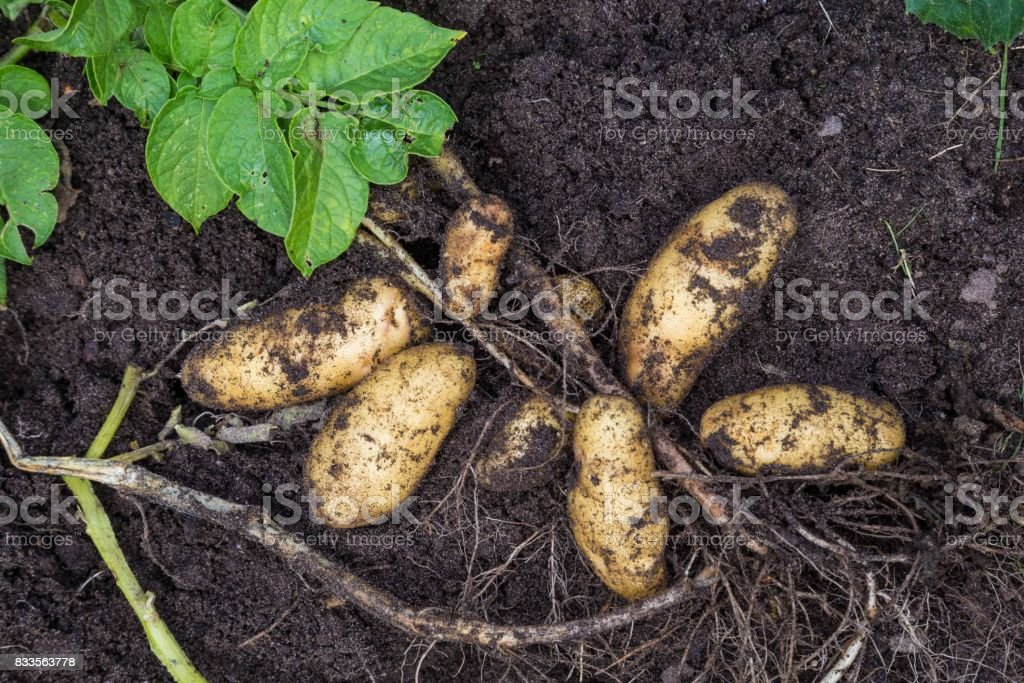Potato harvesting by hand stock photo