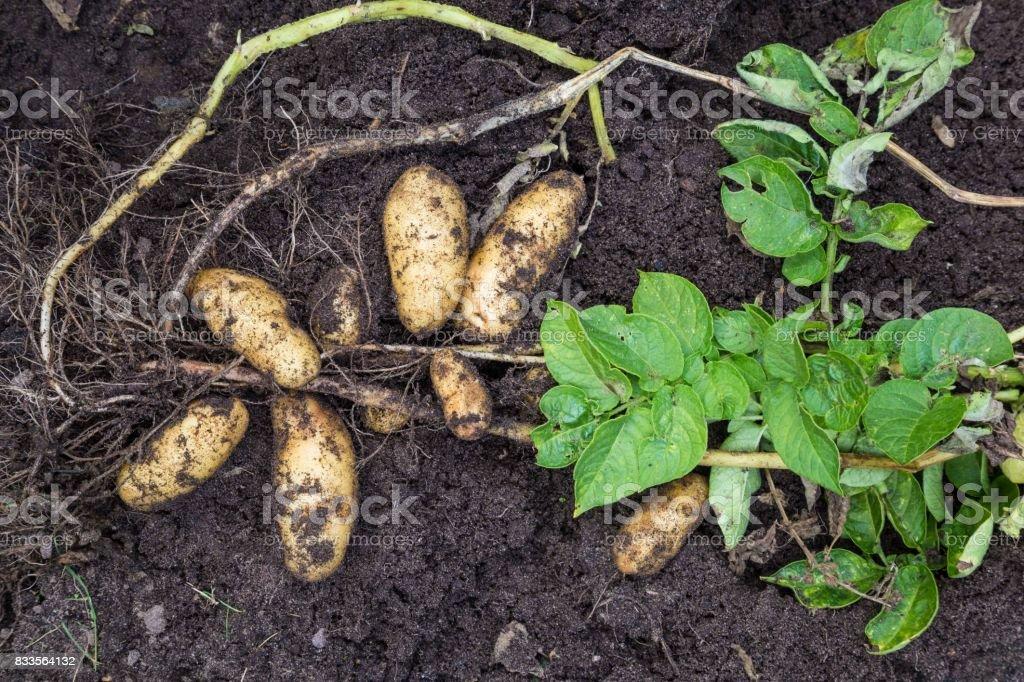 Aardappel oogst met de hand foto