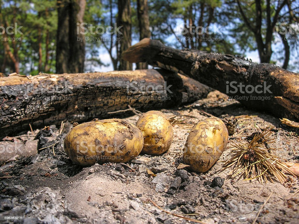 Potato is in the cooled ashes bonfire royalty-free stock photo