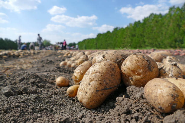 Potato on field stock photo