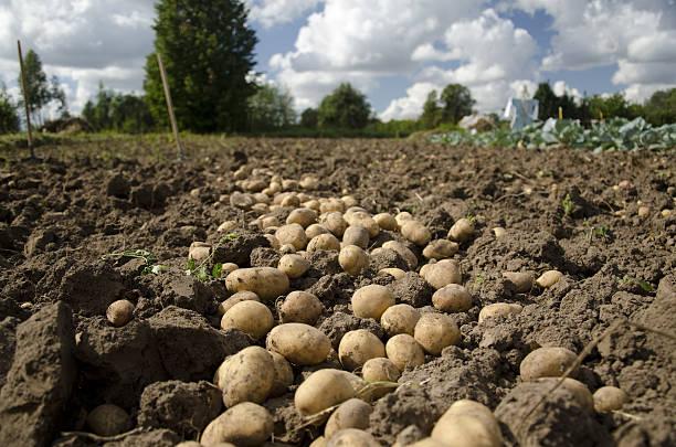 Potato. stock photo
