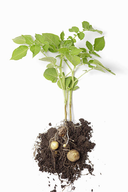 Potato Plant stock photo