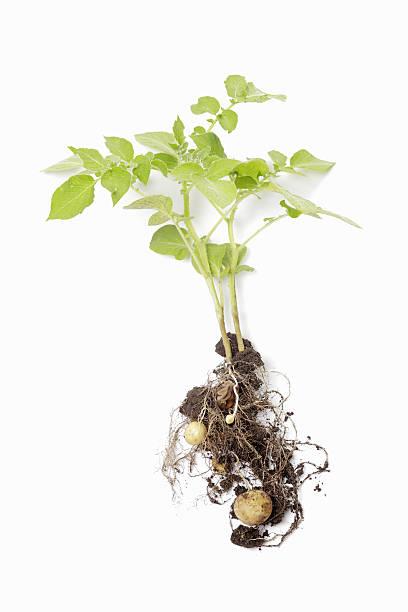 Kartoffel-Plant – Foto