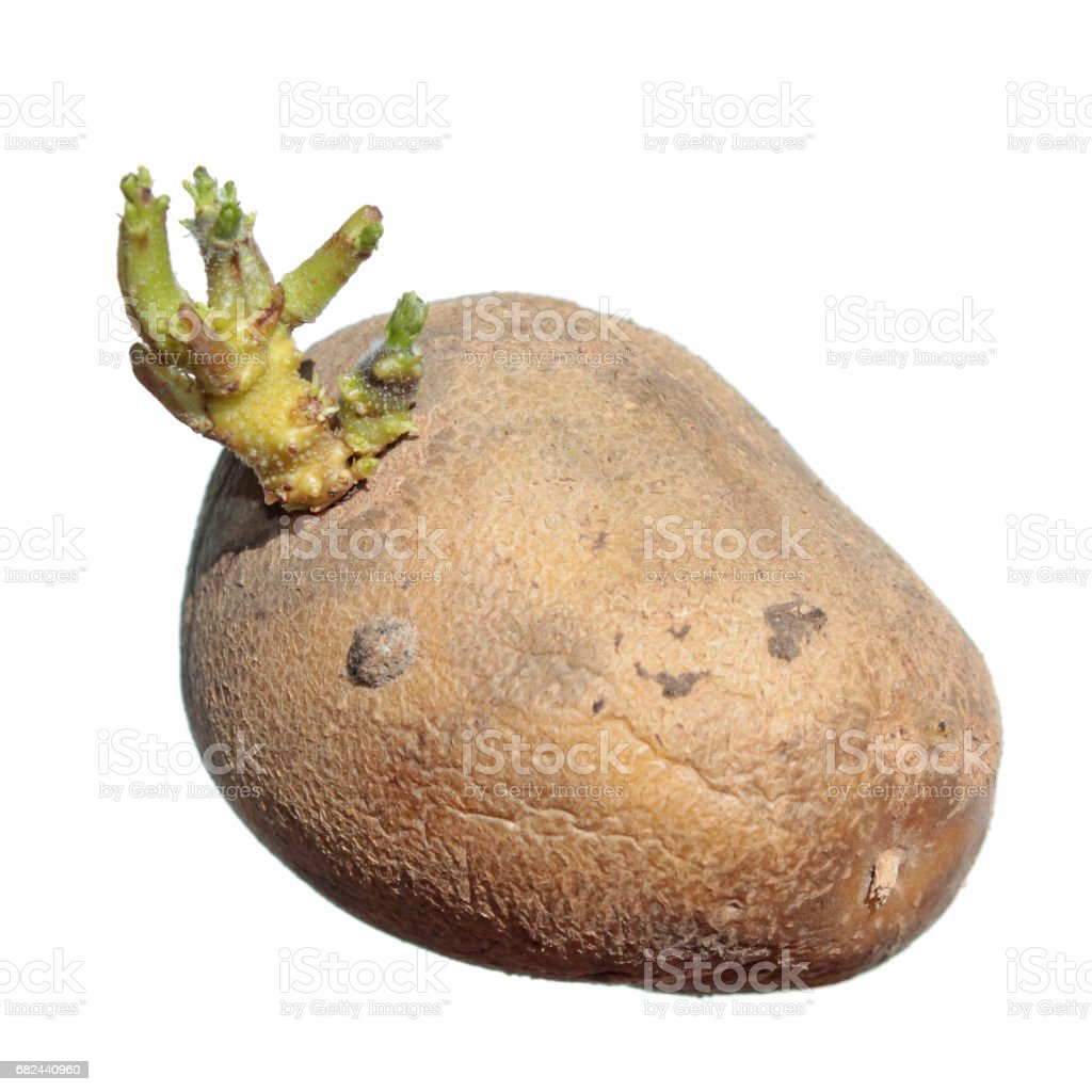 Potato sprout isolated on white background. Sprouting potatoes royalty-free stock photo