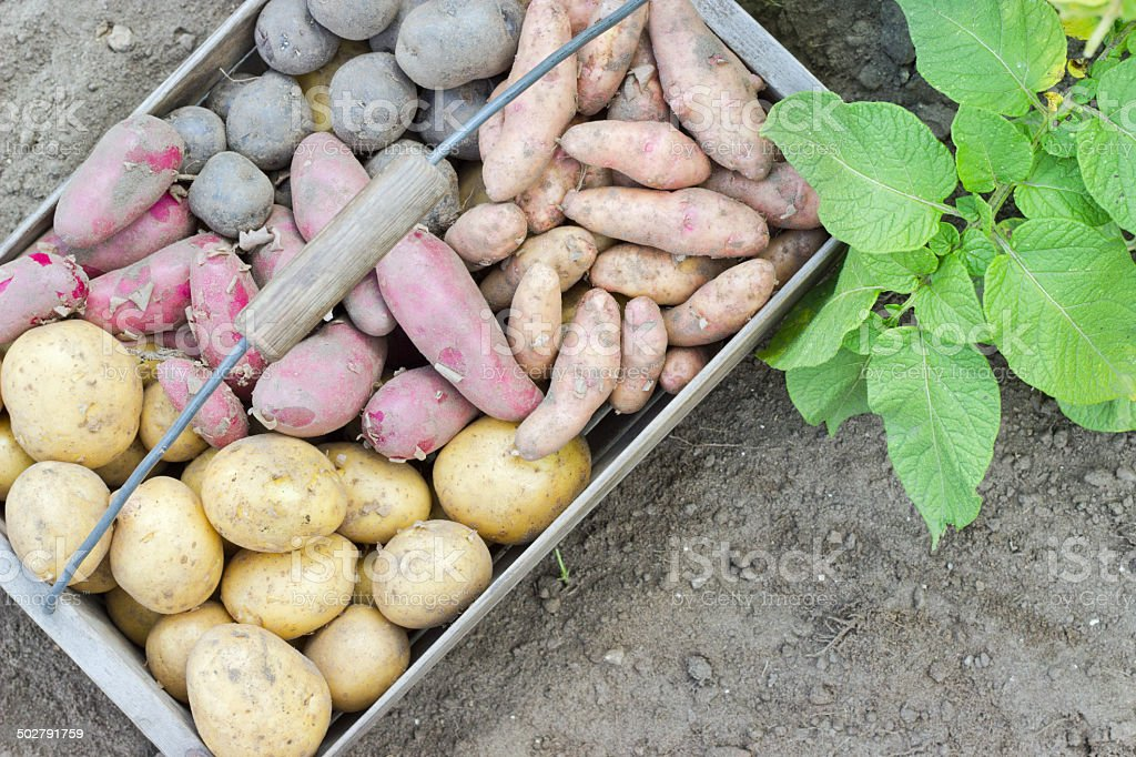 Potato varieties stock photo