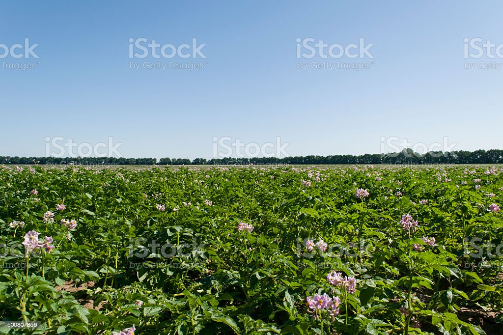 Potato With Purple Flowers Field Stock Photo More Pictures Of