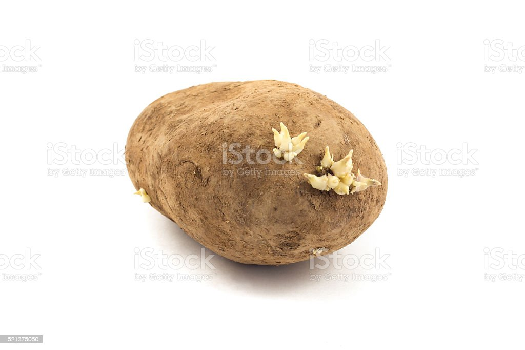potato with sprouts isolated on white background stock photo