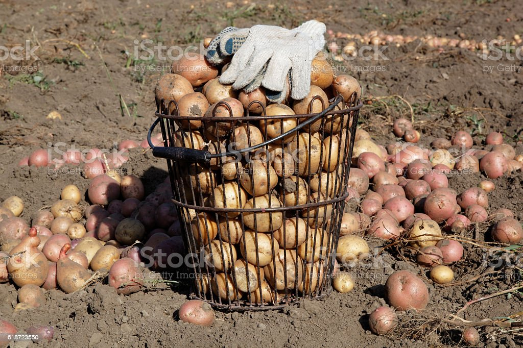 Potatoes and work gloves in the field. stock photo