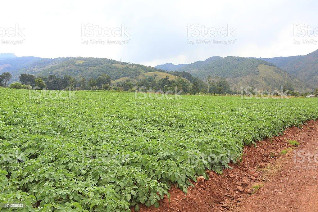 Potatoes Field royalty-free stock photo