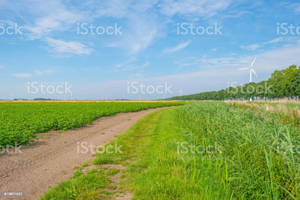 Potatoes growing in a field in summer stock photo