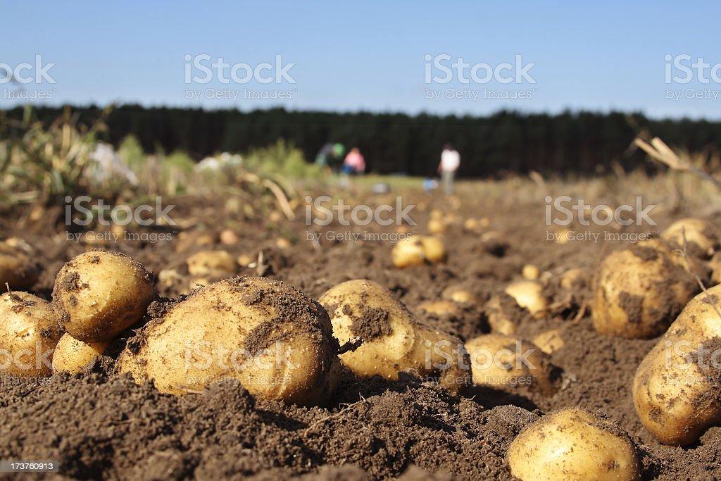Kartoffeln auf einem Feld – Foto