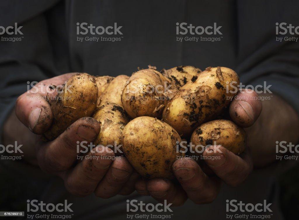 Batatas em mãos - foto de acervo