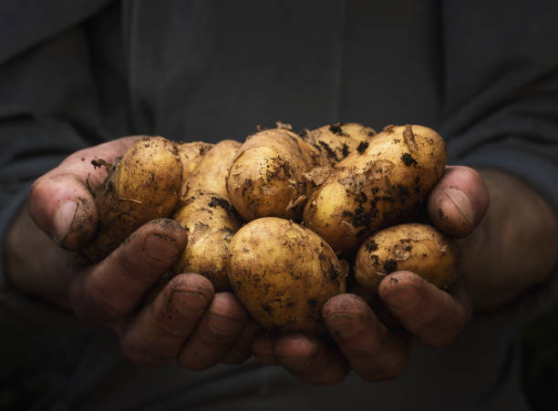Potatoes in hands stock photo